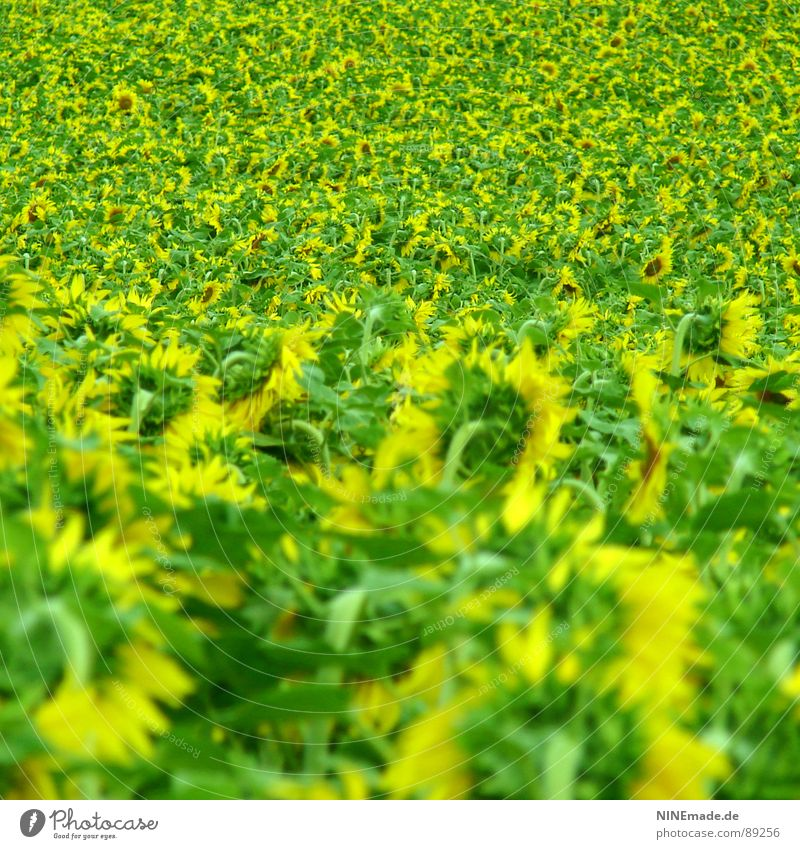 Flower Green Summer Yellow Blossom Field Perspective Happiness Multiple Blossoming Many Sunflower Sunflower field