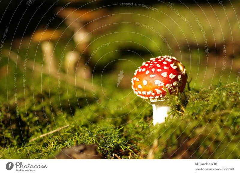 In the fairytale forest Nature Autumn Plant Moss Amanita mushroom Mushroom Mushroom cap Forest Stand Growth Threat Natural Round Beautiful Green Red White