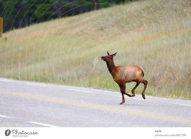 street ballet Landscape Plant Grass Meadow Forest Hill Mountain Rocky Mountains Street Lanes & trails Animal Wild animal Pelt electrolytic capacitor Elk