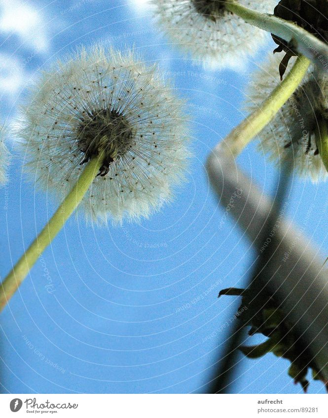 dandelion Flower Dandelion Worm's-eye view Meadow Spring Summer Small Green Clouds Stalk Diminutive Hayfield Sky Nature Dwarf May Field Afternoon Seed Blue