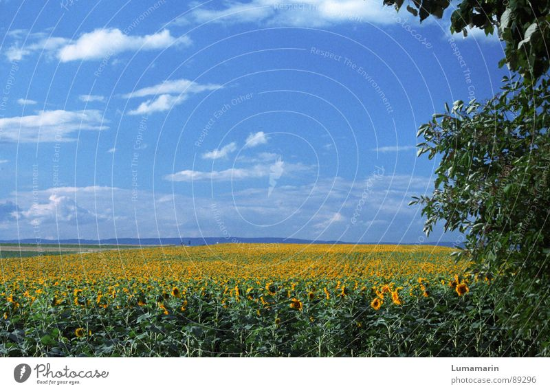 friendly view II Summer Nature Landscape Sky Horizon Flower Field Blue Yellow Green Sunflower Colour photo Exterior shot Deserted Copy Space top Day