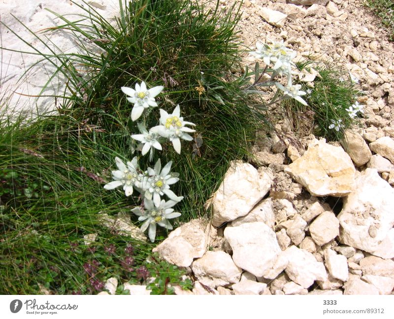 Edelweiss in stone Flower Grass Meadow Mountain mountain flower Stone Nature Landscape Noble