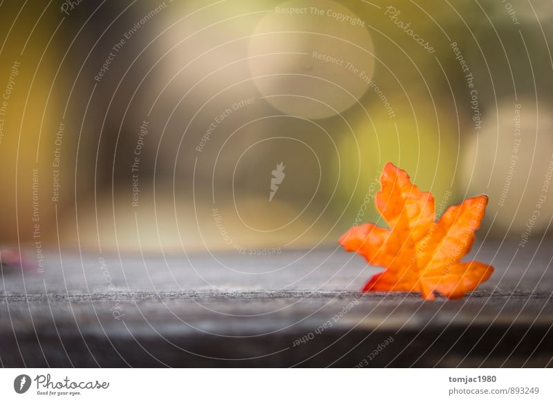 Nature Plant Leaf Autumn Wood Background picture Brown Orange Decoration Autumn leaves Autumnal Autumnal colours Early fall Rustic Wood backing