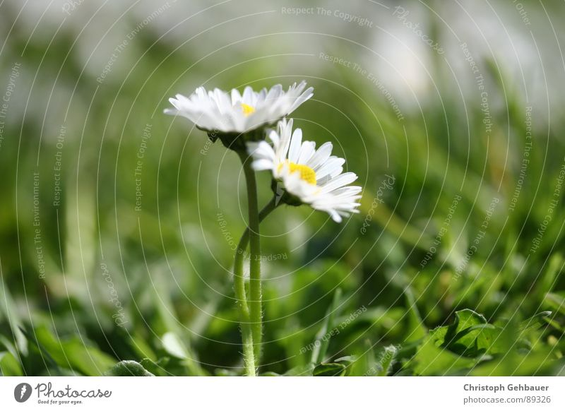 Nature Flower Green Summer Love Meadow Spring Together Trust Daisy