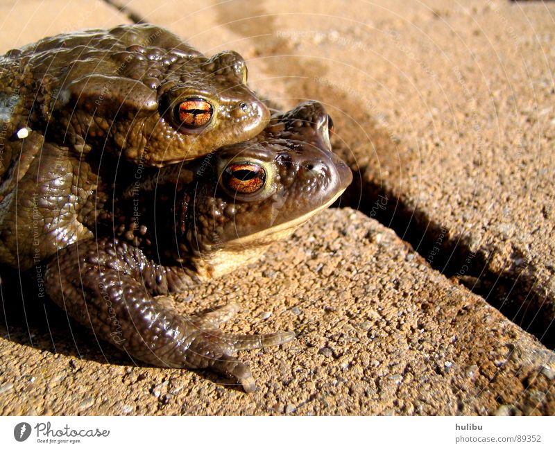 Eyes Animal Jump Stone Coast Lake Brown Sweet Damp Frog Pond Hop Painted frog Quack