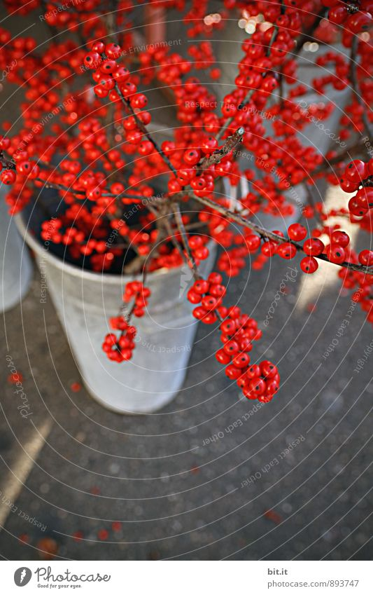 Plant Christmas & Advent Beautiful Red Winter Autumn Style Happy Feasts & Celebrations Moody Health care Lifestyle Fruit Leisure and hobbies Living or residing Decoration