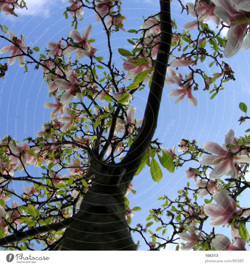(I - YOU - HE) / (SHE) = IT Plant Branchage Growth Spring Expel Sprout Blossom Park Clouds Green Red Pink White Magnolia plants Under Twigs and branches
