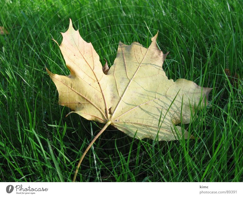 golden autumn leaf Meadow Green Leaf Maple tree Autumn Seasons Tree Lawn Nature Branch