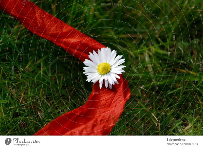 Help, the daisy's bleeding! Daisy Flower Red Green White Yellow Middle Spring Summer String Garden Blood