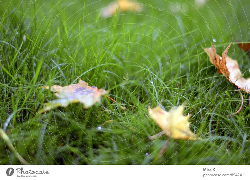 autumn messengers Environment Nature Drops of water Autumn Weather Rain Grass Leaf Meadow Cold Wet Autumnal weather Autumn leaves Early fall Dew Colour photo