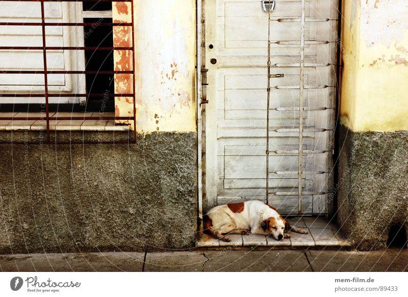 Calm Street Relaxation Dog Door Safety Cuba Mammal Pet Peaceful Guard Siesta Watchdog Snoring Midday sun