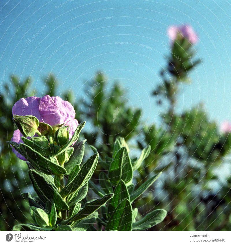 Flower Green Blue Plant Summer Blossom Spring Pink Blossoming Medicinal plant Sage Southern France