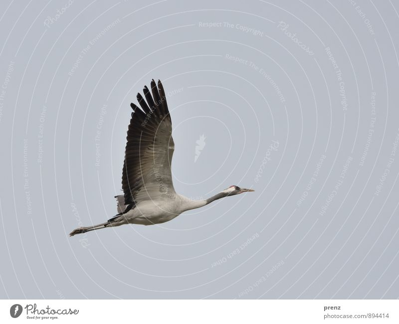 crane Environment Nature Animal Autumn Weather Wild animal Bird 1 Gray Black Crane Migratory bird Flying Floating Stork village Linum Sky Colour photo