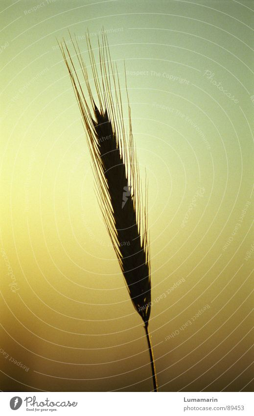 Sky Summer Loneliness Grain Stalk Blade of grass Grain Dusk Individual Ear of corn Delicate Isolated