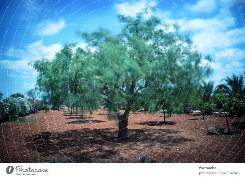 swinging olive Environment Nature Landscape Plant Earth Sky Clouds Sunlight Summer Weather Beautiful weather Wind Tree Bushes Olive tree Palm tree Garden Field