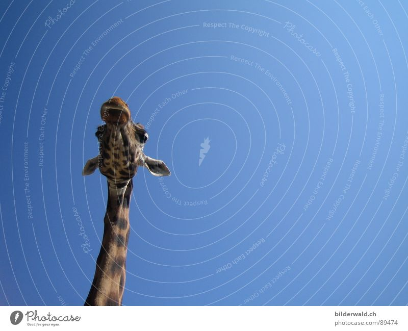 Sky Loneliness Animal Freedom Happiness Vantage point Africa Pelt Zoo Neck Mammal Knee Giraffe
