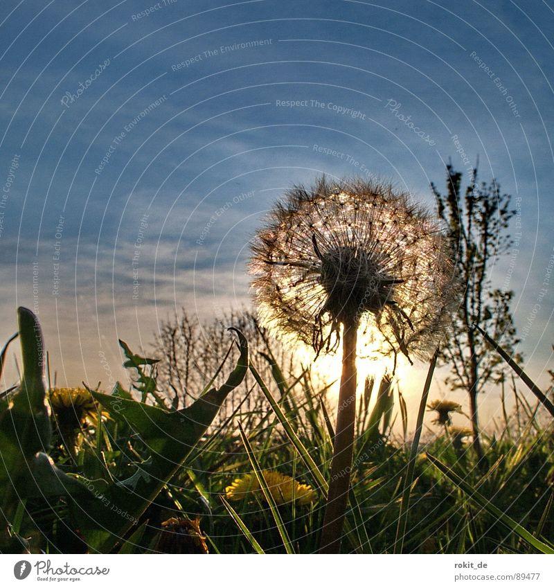 Dandelion No. I Sunset Evening Blow Grass Yellow Horizon Children's game Glittering Joy Transience go to sleep green Sky