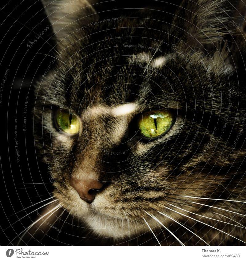 Cat Animal Eyes Window Glass Pelt Window pane Mammal Paw Domestic cat Shop window Moustache Window board Beard hair Windowsill Land-based carnivore