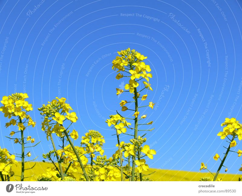 rap #3 Canola Field Spring Ecological Diesel Carbon dioxide Climate change Yellow Stripe Stalk Oxygen Agriculture Leaf green Organic produce Blossoming Sky