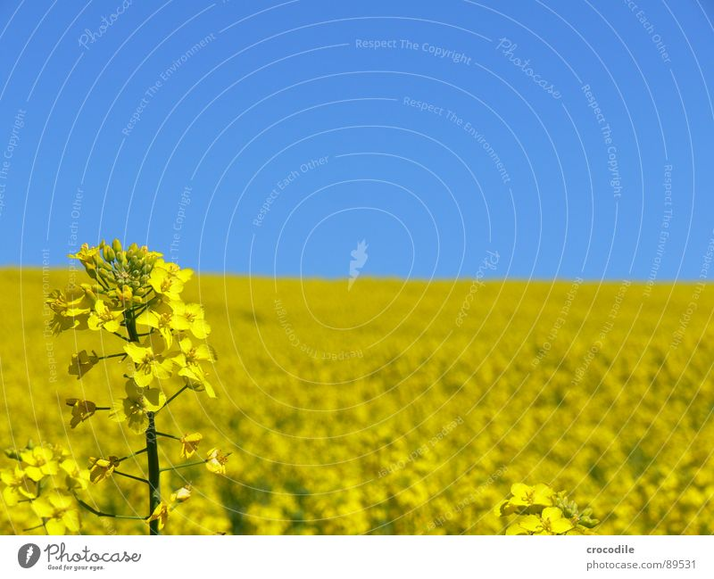 Rape #4 Canola Field Spring Ecological Diesel Carbon dioxide Climate change Yellow Stripe Stalk Oxygen Agriculture Leaf green Organic produce Blossoming Sky