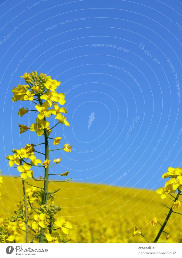 rap #5 Canola Field Spring Ecological Diesel Carbon dioxide Climate change Yellow Stripe Stalk Oxygen Agriculture Leaf green Organic produce Blossoming Sky