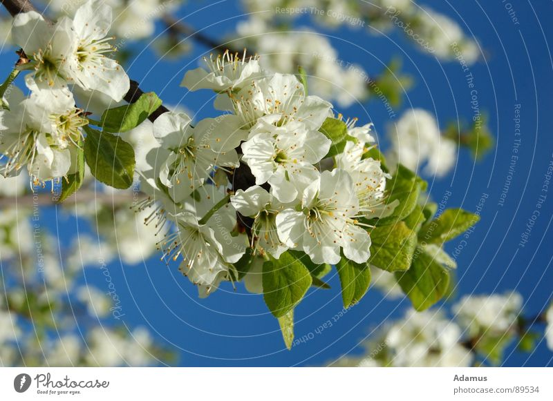 Jump in bloom Sky White Spring flowers little flowers leaves leaf bleed blue Blue green