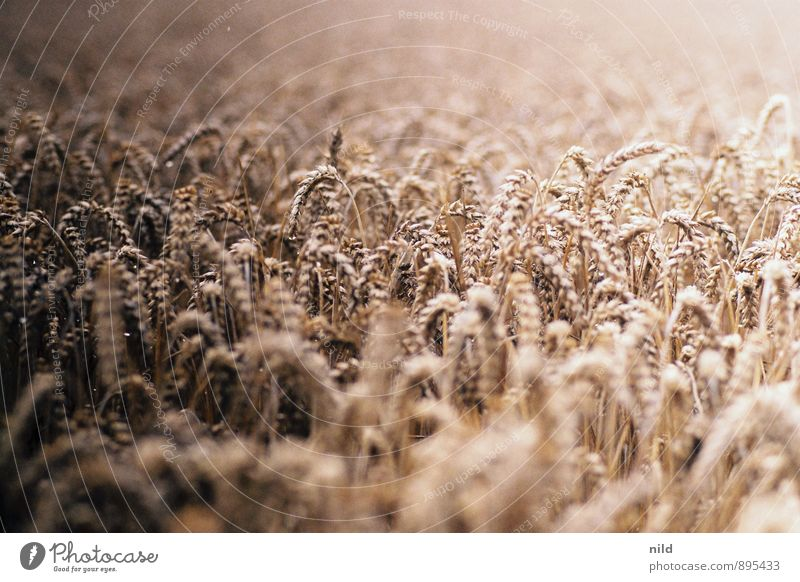 summer Food Grain Nutrition Environment Nature Plant Summer Agricultural crop Wheat Field Brown Gold Bread Summery Agriculture Working in the fields