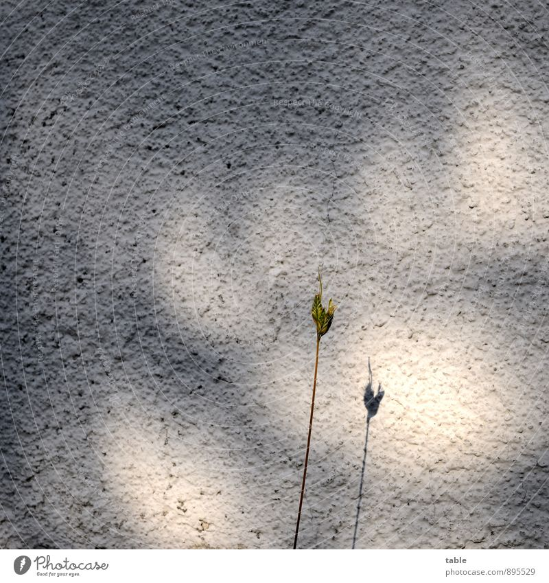 lone fighters Environment Nature Plant Grass Foliage plant Wild plant Wall (barrier) Wall (building) Facade Stone Concrete Stand Growth Wait Dark Thin Bright