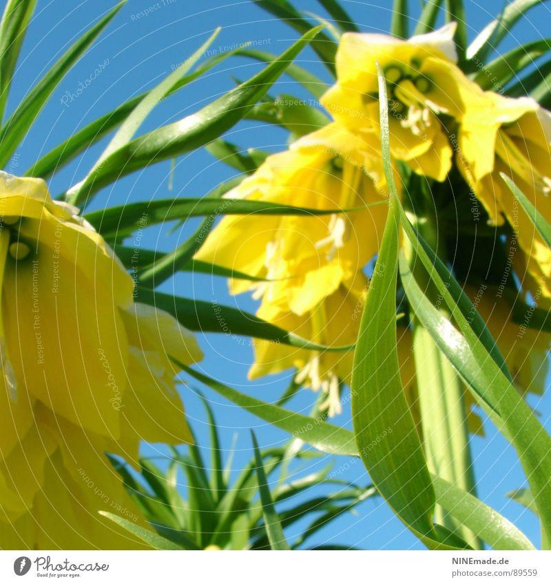 Bellflowermellia I Bluebell Flower Loud Volume Yellow Green Summer Physics Hot Blossom leave Happiness Stalk Good mood Noble Beautiful Harmonious Contentment
