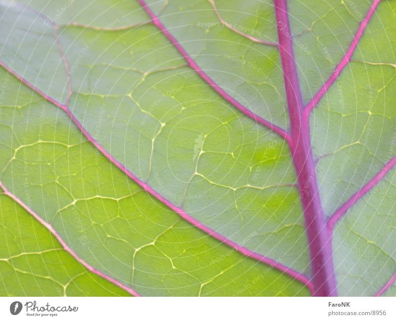 red cabbage Leaf Red cabbage Plant Green