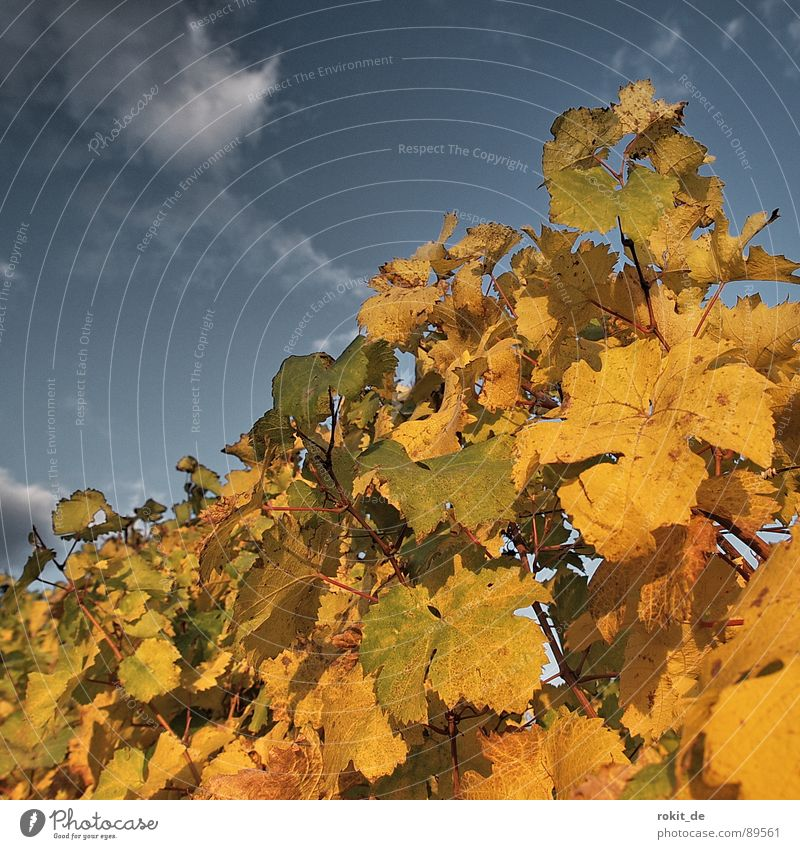 Evening in the vineyard Autumn Sunset Vineyard Rheingau Leaf Bright green Yellow Clouds Stick Vine leaf Romance Alcoholic drinks Gold Blue Sky golden autumn reb