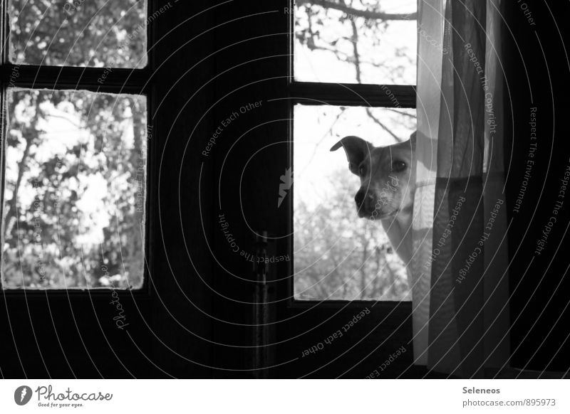 Play? Room Tree Door Glass door Curtain Window Window pane Drape Animal Pet Dog Animal face 1 Observe Curiosity Love of animals Black & white photo