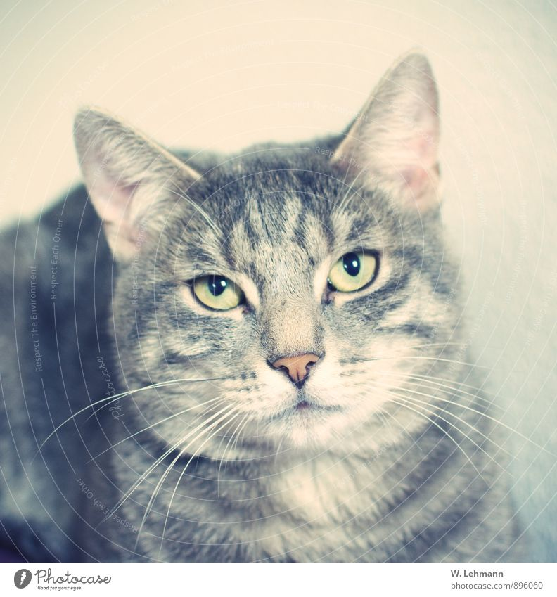 Cheesecake... right? Animal Pet Cat 1 Baby animal Touch To feed Feeding Sleep Soft Gray Pride Love Domestic cat Heart Soul Colour photo Interior shot
