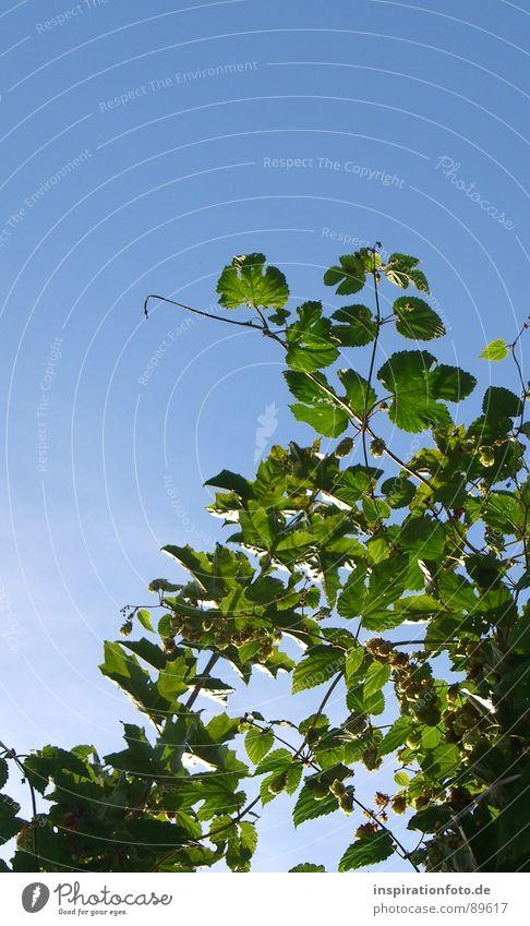 Sky Blue Green Plant Leaf Fruit Bushes Branch Twig Hop