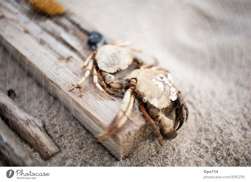 "Mr. Krebs Summer Coast Beach Animal Farm animal Wild animal Dead animal ""Cancer Crustacean"" 1 Sand Wood Sadness Brown Gray Death ""Rest tranquillity Dead"""