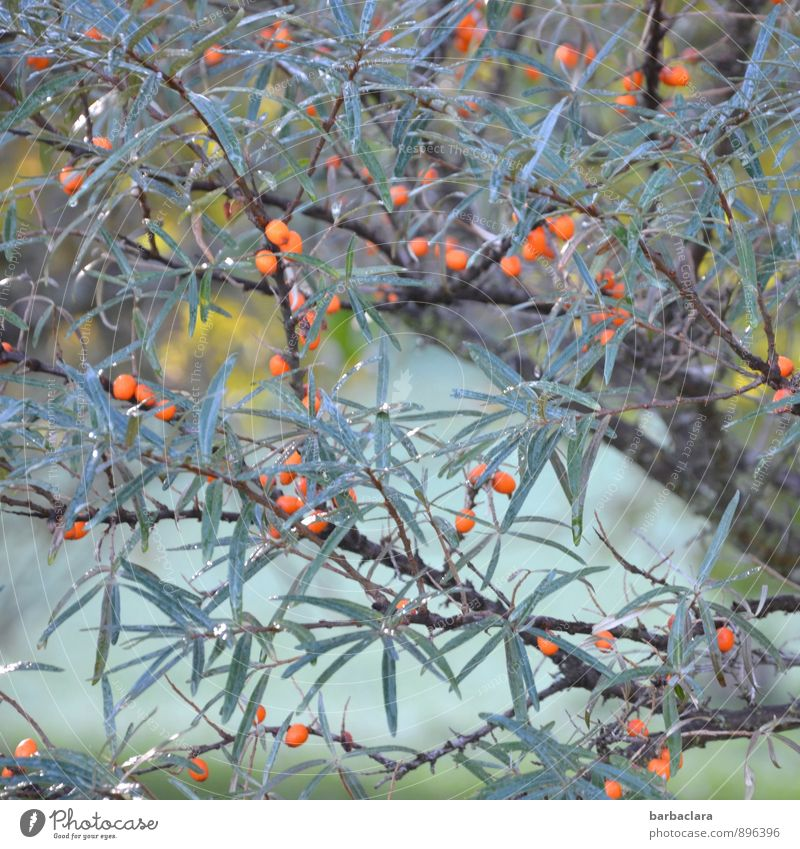 sea buckthorn Food Cosmetics Nature Plant Sunlight Autumn Tree Bushes Leaf Agricultural crop Wild plant Sallow thorn Berries Garden Growth Fresh Many Blue