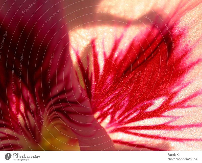 Plant Red Blossom Geranium