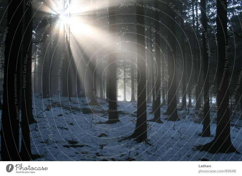 Nature Tree Winter Loneliness Forest Dark Spring Lighting Fog Mystic Eerie Black Forest Beam of light Coniferous forest