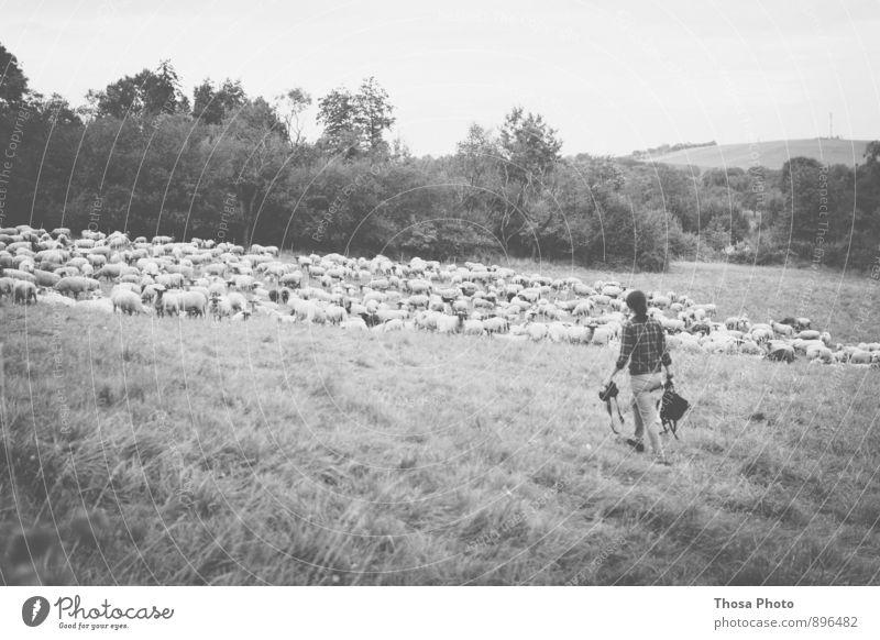 Human being Summer Feminine Group Going Pasture Camera Sheep Herd Flock