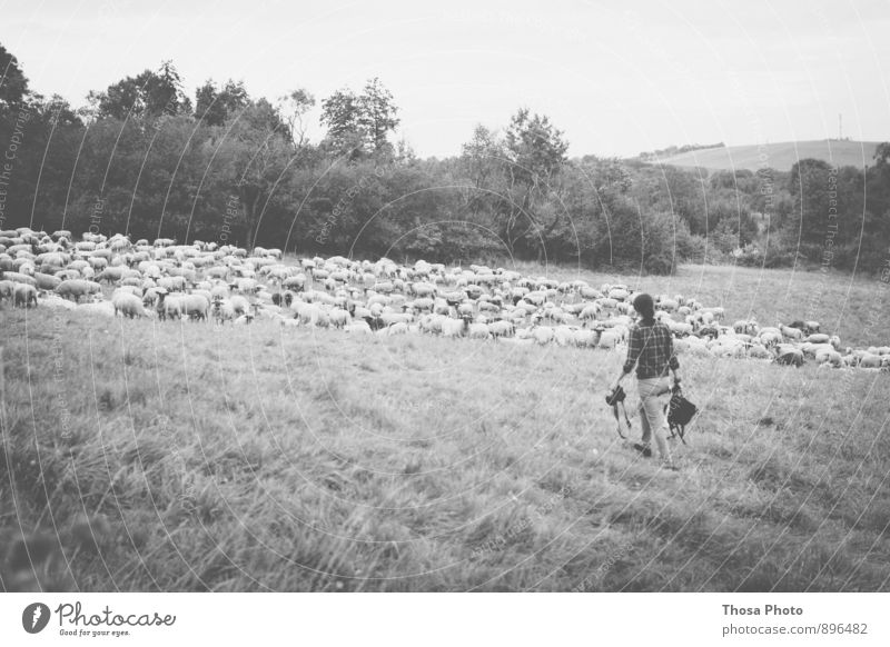 sheep Feminine 1 Human being Summer Going Sheep Flock Pasture Camera Group Herd Black & white photo