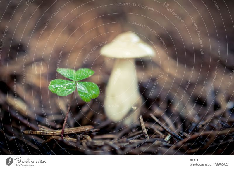 lucky, you... Nature Plant Foliage plant Wild plant Cloverleaf wood clover Mushroom Woodground Dark Thin Authentic Simple Together Wet Brown Green