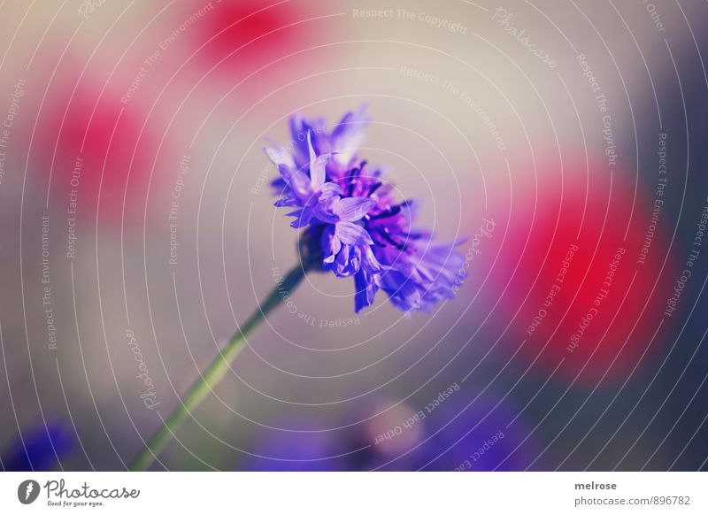 "Cornflower red spotted Nature Plant Sun Summer Beautiful weather Flower Blossom cyans Knapweed korbblüter poppy flower Meadow Field ""Dot,"" points background"