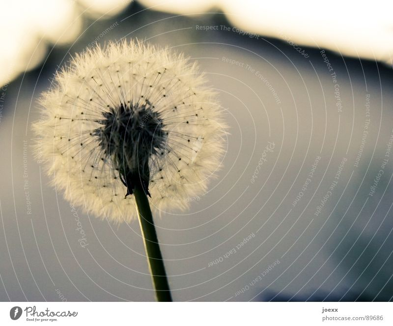 glider squadron Blossom Spring House (Residential Structure) Dandelion Tailed seeds Summer Stalk Style Propagation Meadow Transience Garden common dandelion