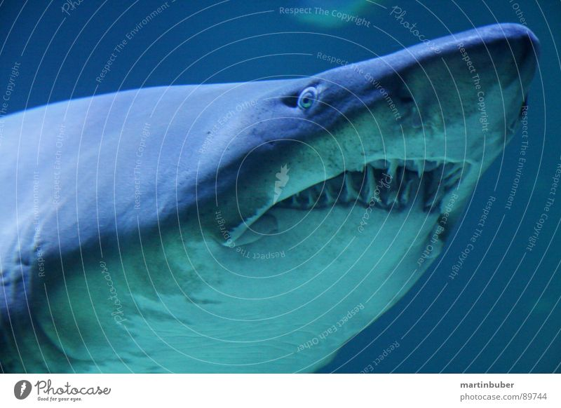 cautious biting Aquarium Shark Thief Assassin Dangerous Man-eater Ocean Seafood Sea water White Ogre Blue-green White-blue Shark teeth Captured Appetite