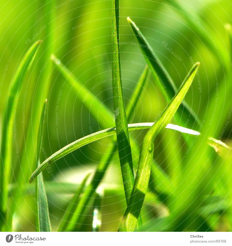 Grassgreen_01 Green Blade of grass Stalk Sprout Plant One of many Small Reduce Field Loneliness Growth Blur Spring Spring fever Meadow Northern Forest