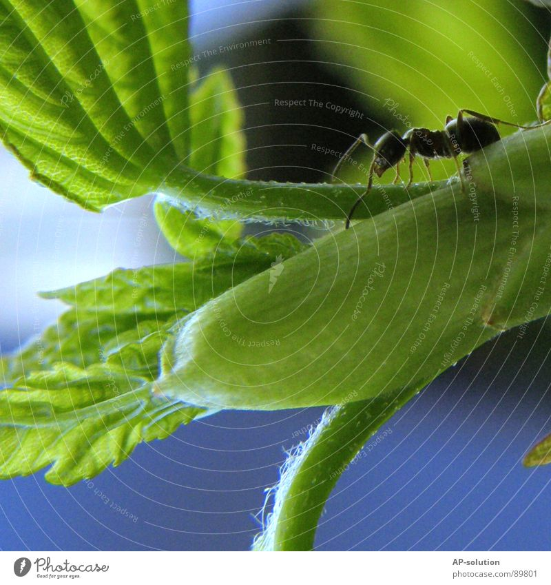 Nature Green Animal Black Small Work and employment Insect Shorts Crawl Working man Diligent Ant Pests Diminutive Waldameise