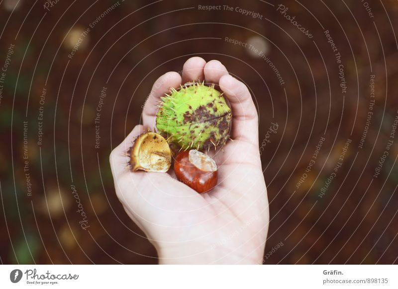 Human being Nature Green Hand Environment Adults Autumn Feminine Brown Growth Idyll Fingers Change Thorny Foliage plant Chestnut