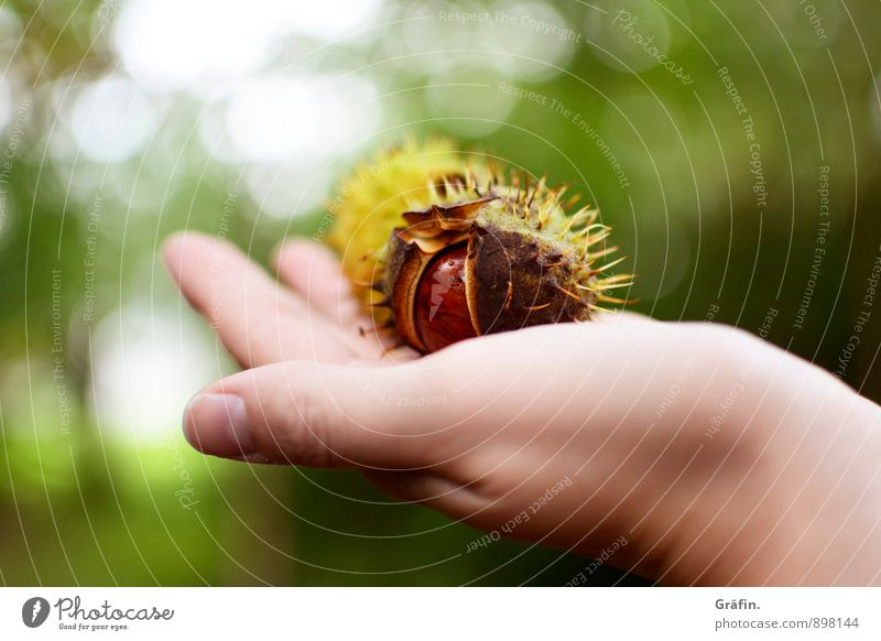Golden Autumn Environment Nature Plant Tree Chestnut Forest To dry up Natural Thorny Wild Brown Green Patient Calm Curiosity Environmental protection Past