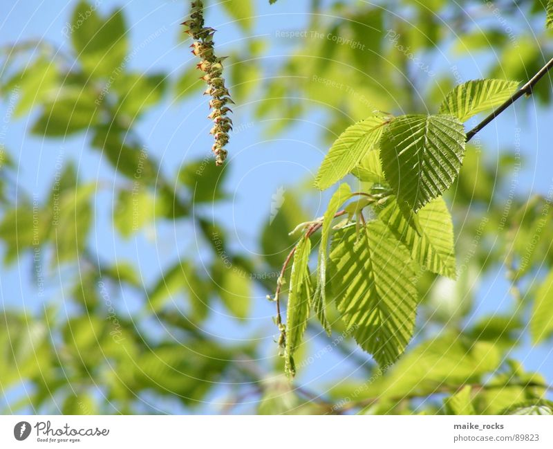 It greenens so green _1 Leaf Green Tree Spring Seasons Fresh Exterior shot Nature Colour Blue Branch Landscape Twig Life Plant