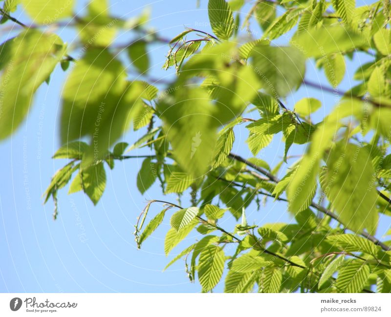 Green as green _2 Leaf Tree Spring Seasons Fresh Exterior shot Nature Colour Blue Branch Landscape Twig Life